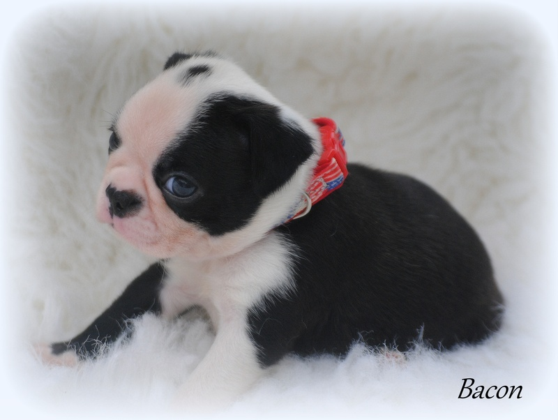 Boston terrier puppies gainesville fl