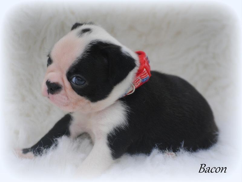 Boston terrier puppies gainesville fl